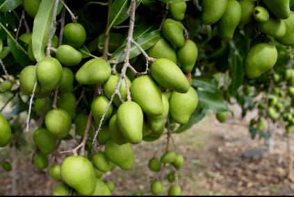 Pupularne mango irvingia gabonensis gdzie je kupic